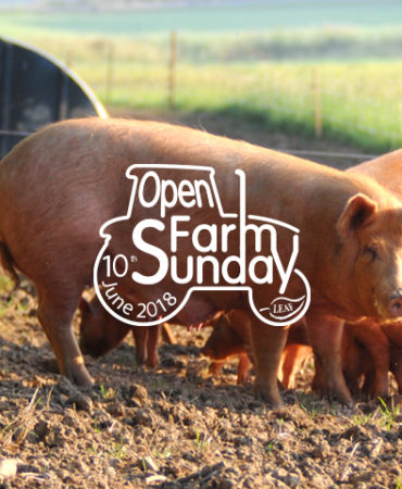 rusty pig open farm